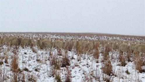 500 Sheep Photo Three Closer