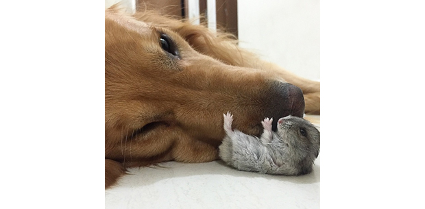 Dog snuggles with bird and hamster best friends