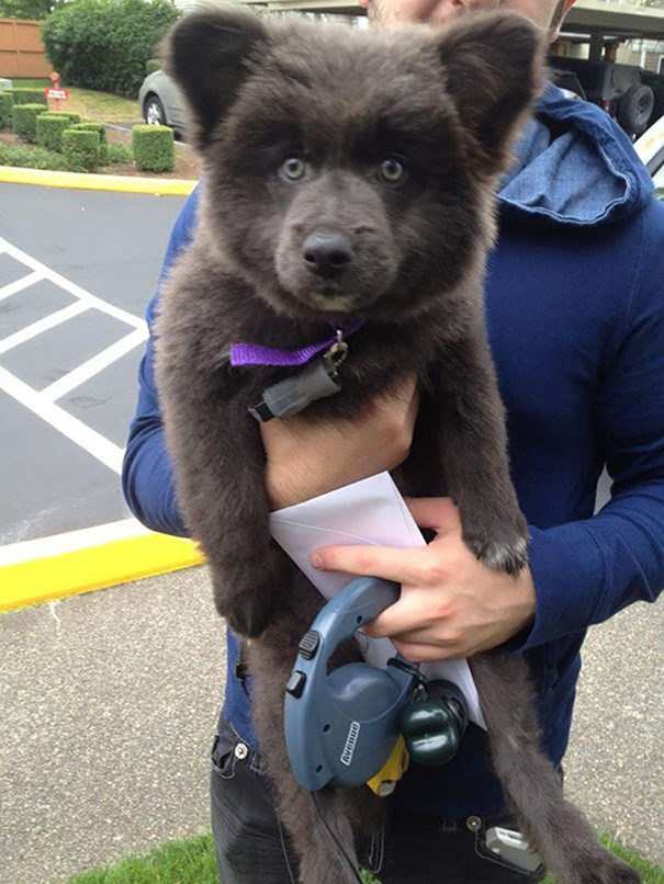 10 incredibly cute dogs that look exactly like bear cubs