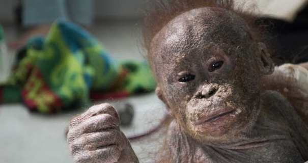 """""""Mummified"""" abandoned baby orangutan rescued and on the road to recovery"""