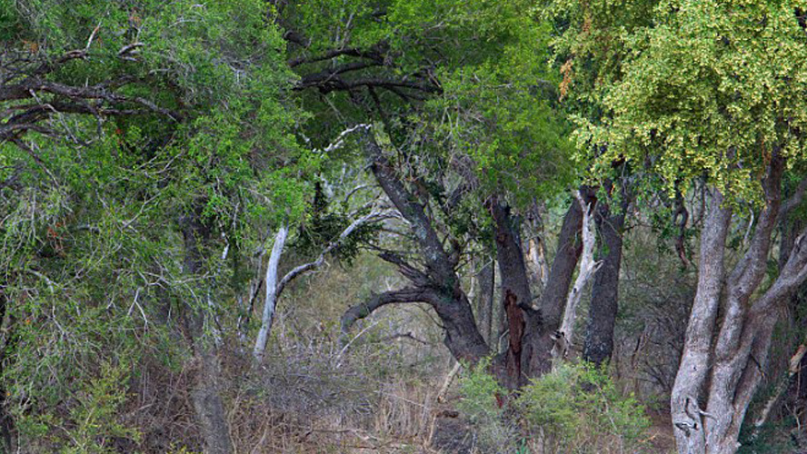 Can you see the leopards in this photo?