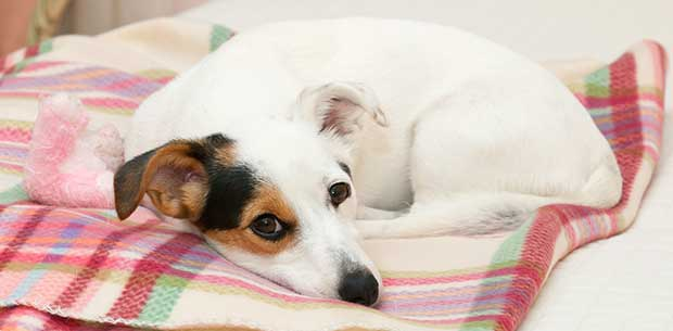 Why dogs turn around in circles before lying down