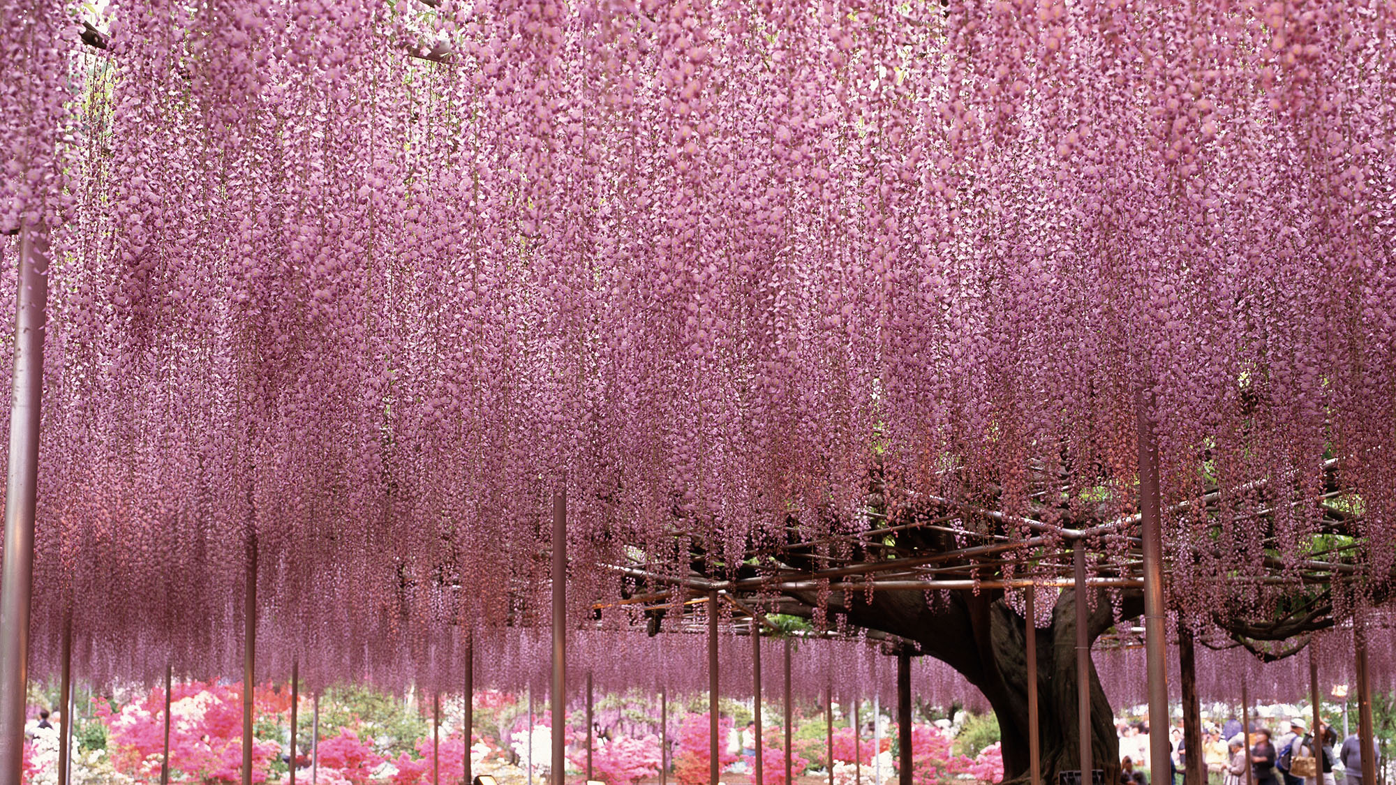 Is this the world's most beautiful tree?