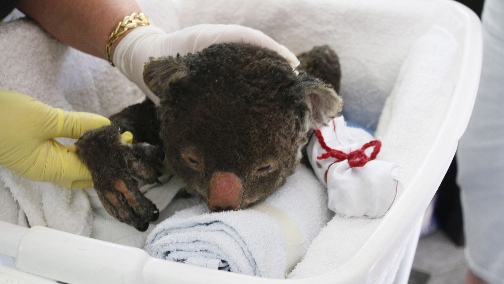 Mittens accomplished: Koalas' cry for help worked