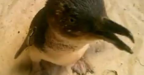 Phillip Island's 21-year-old penguin recovering well from life-saving surgery