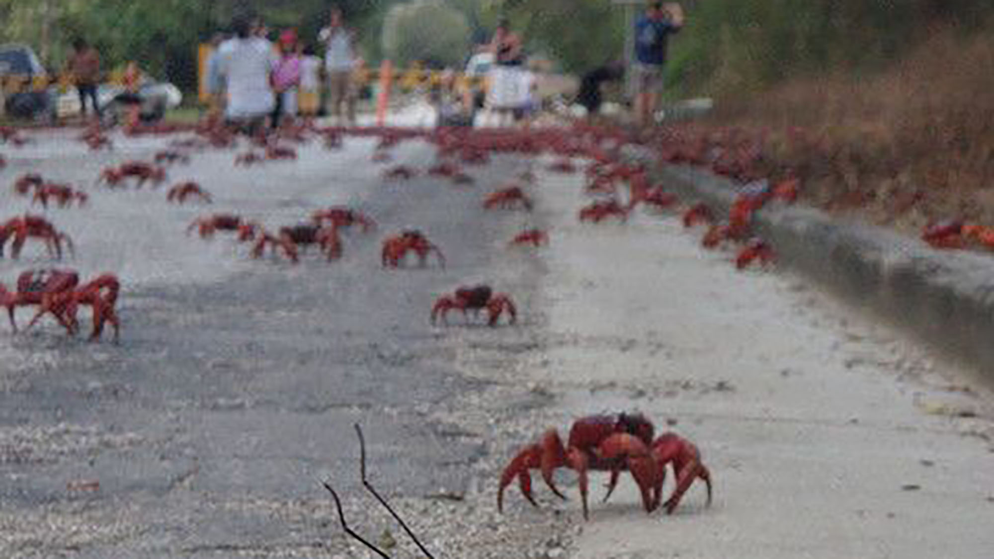 Christmas Island's crab conservation success