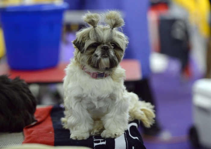 Best in show: The Westminster Kennel Club Dog Show has begun