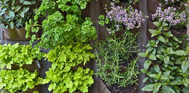 7 tips to maintain your herb garden