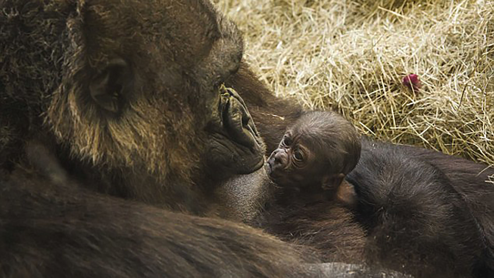 Amazing pictures of the moment gorilla feeds her newborn daughter