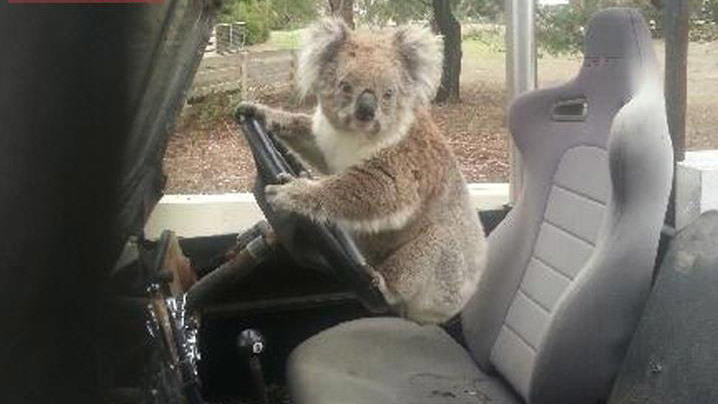 Schoolboy finds a koala trying to drive a car