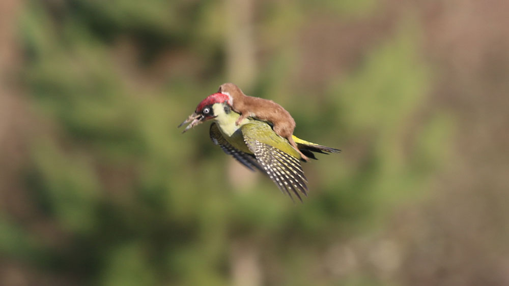 Baby weasel hitches a ride from a woodpecker