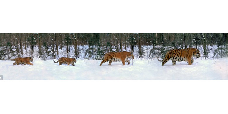 Extremely rare portrait captured of Amur tiger family in the wild