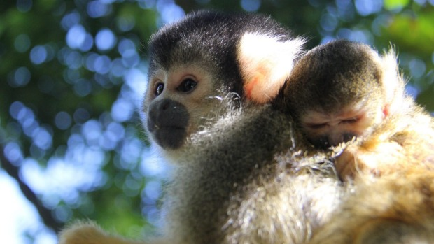 Meet the latest addition to Taronga Zoo: Julio, a baby Bolivian squirrel monkey