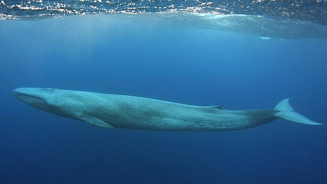 Blue whale song heard from 750kms away