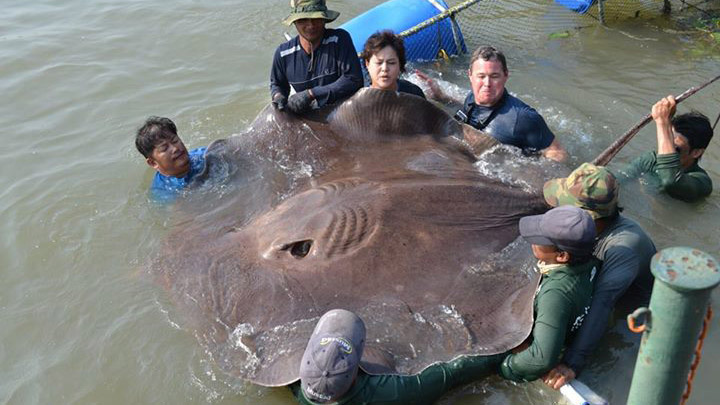 Is the 14-foot stingray the largest freshwater fish ever caught?
