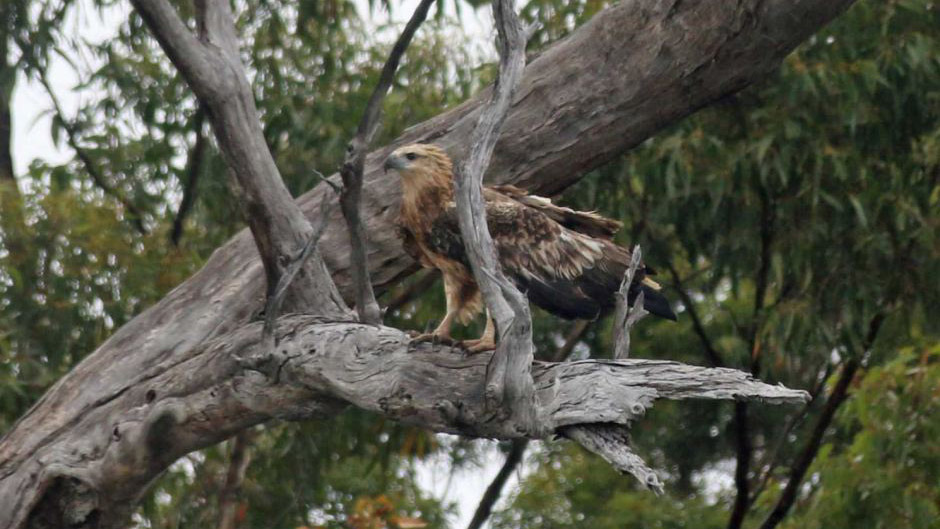 After 9 weeks of rehab a Tasmanian sea eagle released back into wild
