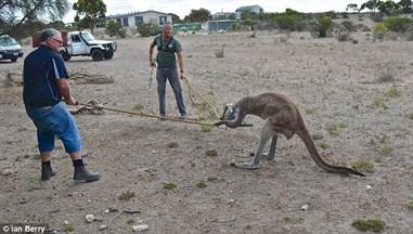 Men Helping Kangaroo Head Watering Can