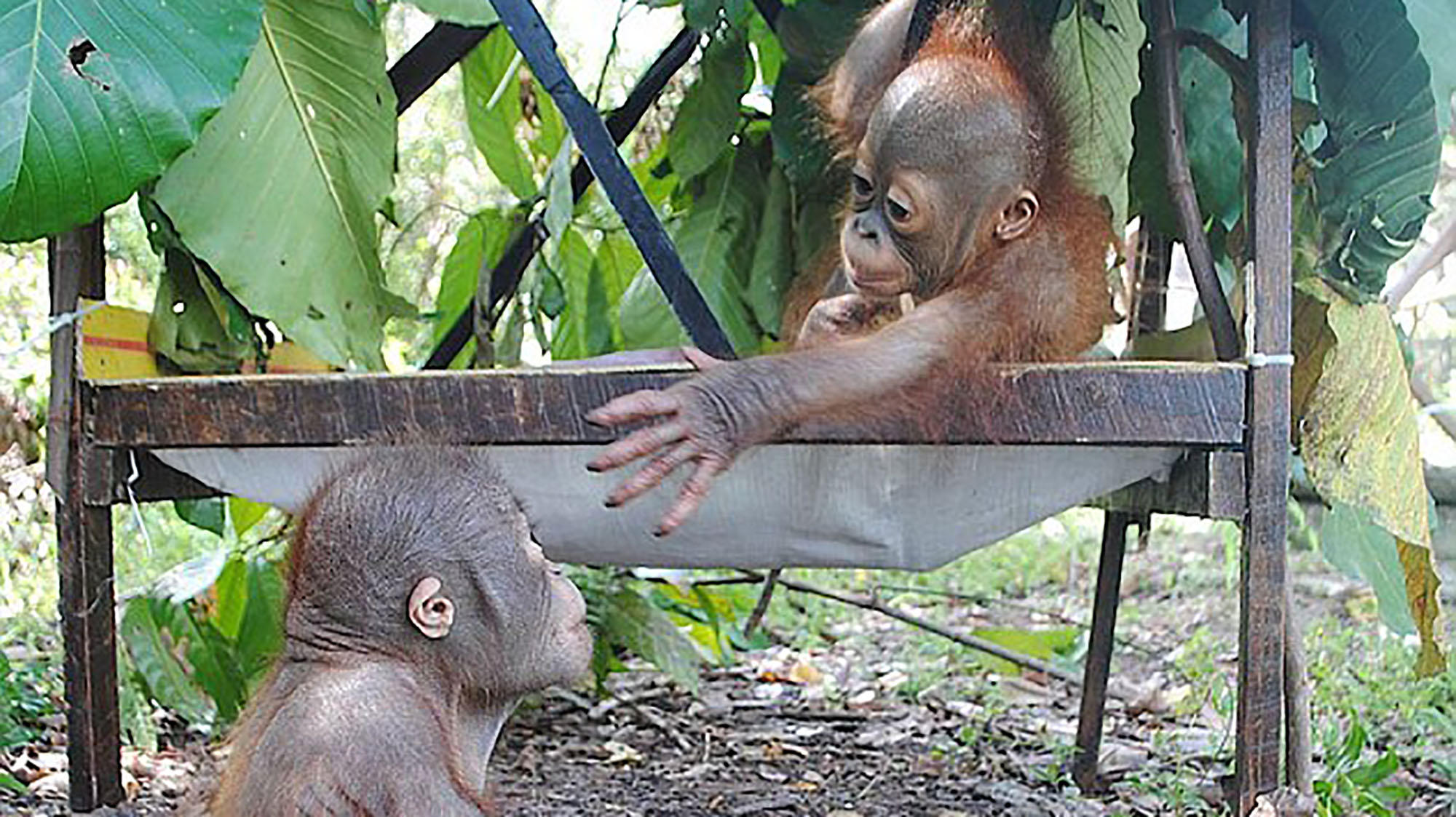 The adorable moment two baby orangutans meet after being rescued
