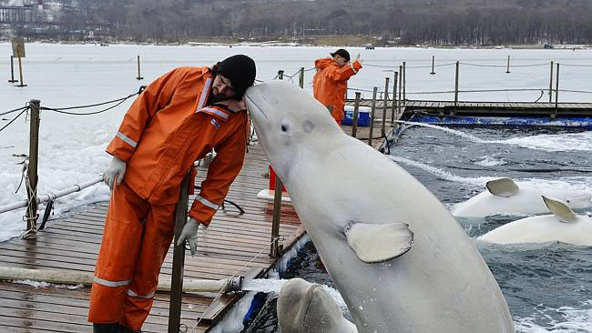 Beluga whales jumps out of the water to kiss man on cheek