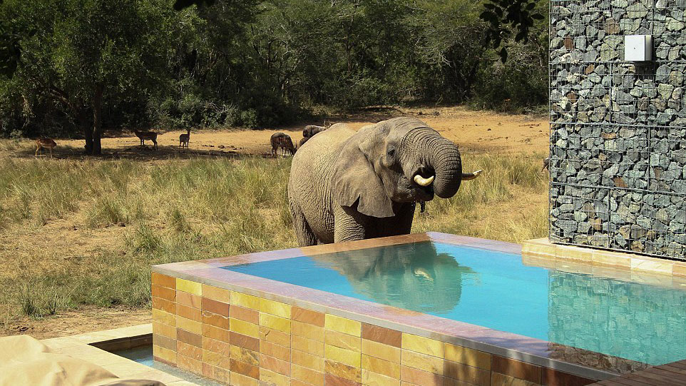 More than 60 elephants stop at hotel pool for a drink