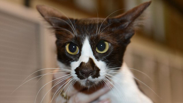 Meet Oz – the cute cat with a map of Australia on her nose