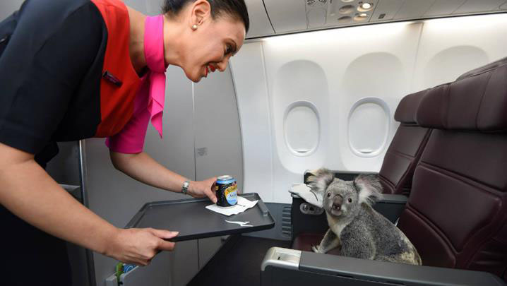 Why are these koalas travelling in first class?