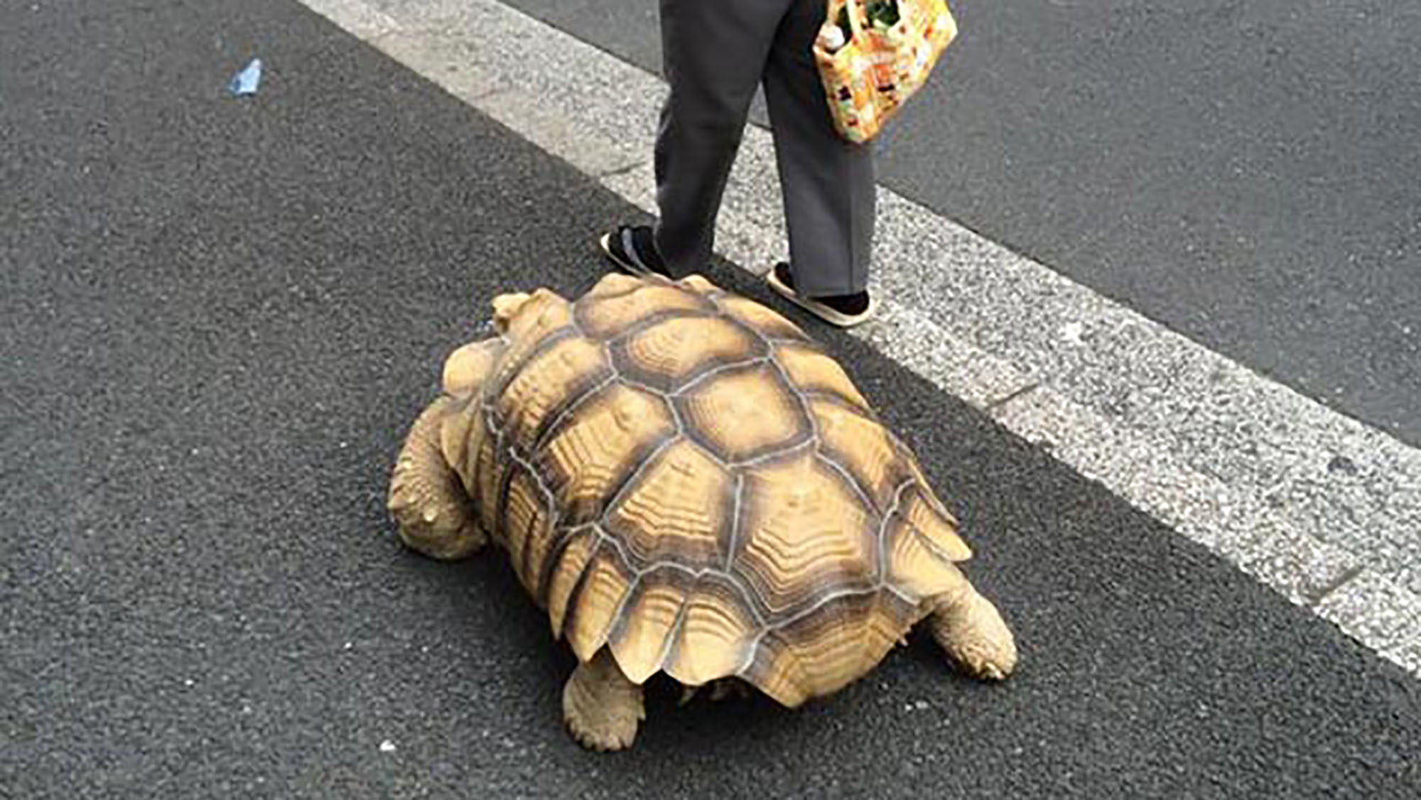 The world's most patient pet owner walks his giant tortoise everyday
