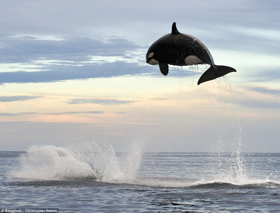 Unbelievable images of a killer whale jumping four metres into the air