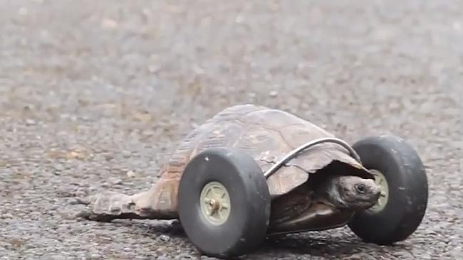 90-year-old tortoise gets wheels after losing legs