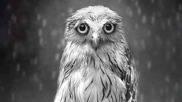Why does this little owl look so miserable?