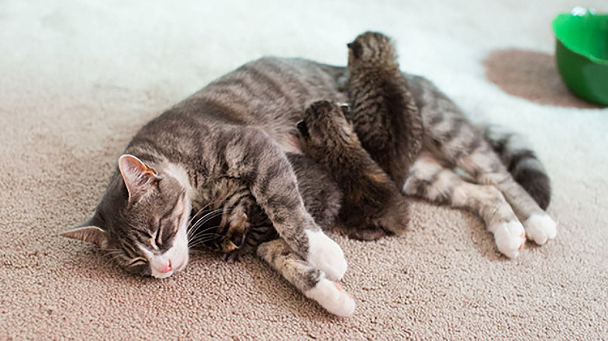 Cat who lost her own litter has adopted three abandoned kittens