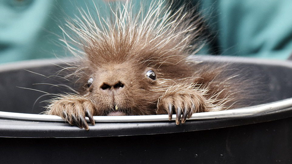 This is what a baby porcupine looks like…