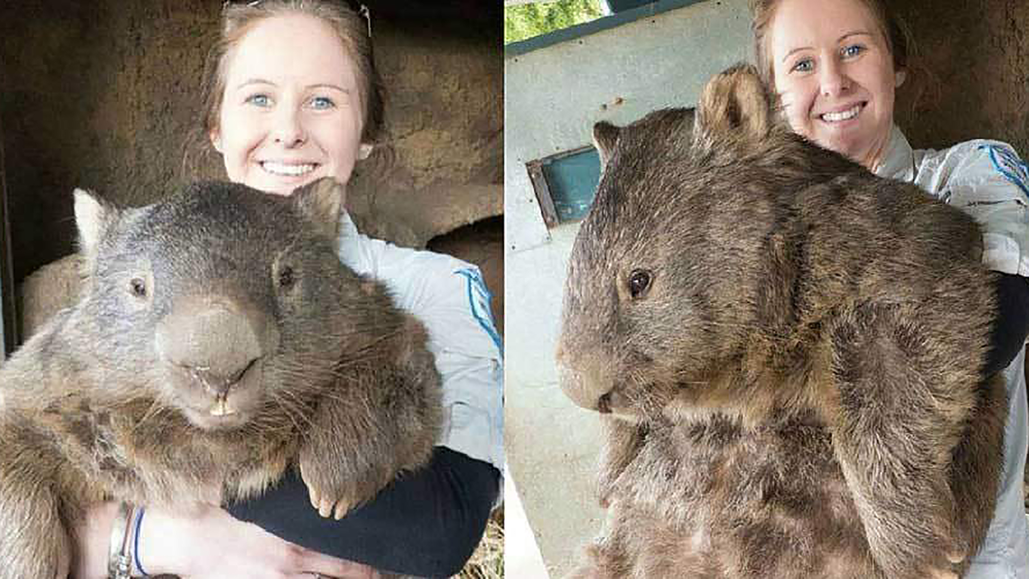 Meet Patrick, the world's oldest and largest wombat