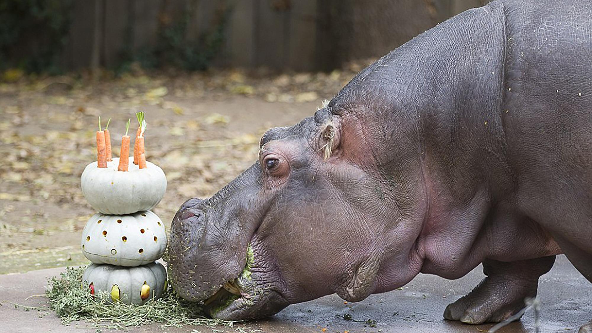 Brilliant Brutus The Hippo Gets A Pumpkin Birthday Cake For His Milestone Personalised Birthday Cards Akebfashionlily Jamesorg