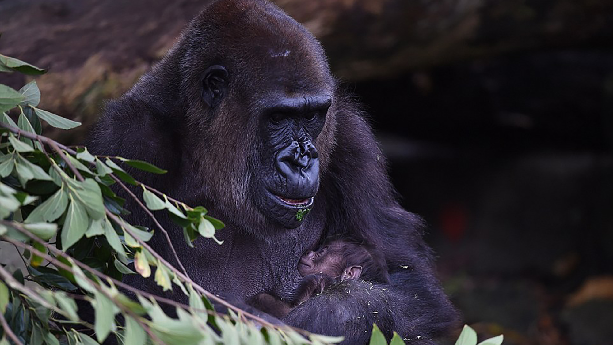 Meet the new baby gorilla born at Taronga Zoo this week