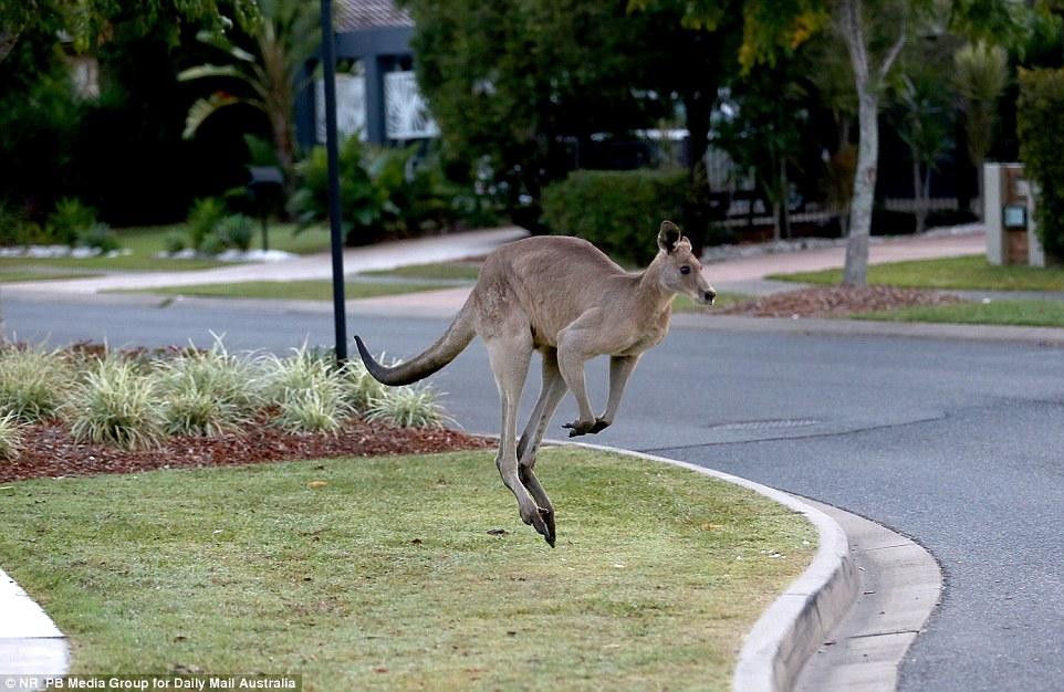 A 2m tall, 95kg kangaroo has been terrorising residents of a Brisbane suburb