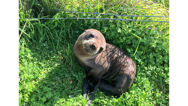 Seal pup found in the middle of a cattle farm. But how did it get there?