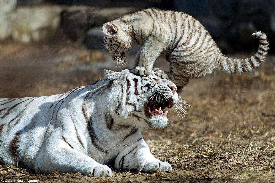 Newborn white Bengal tiger really won't give its poor mum a break