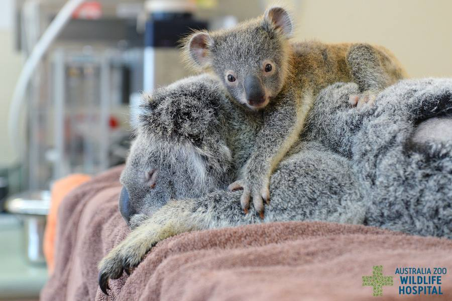 Baby koala clings onto to mother as she undergoes lifesaving surgery