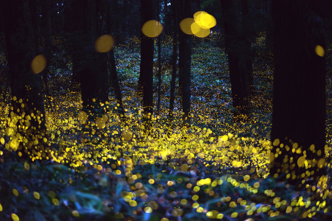 Stunning photos of glowing fireflies