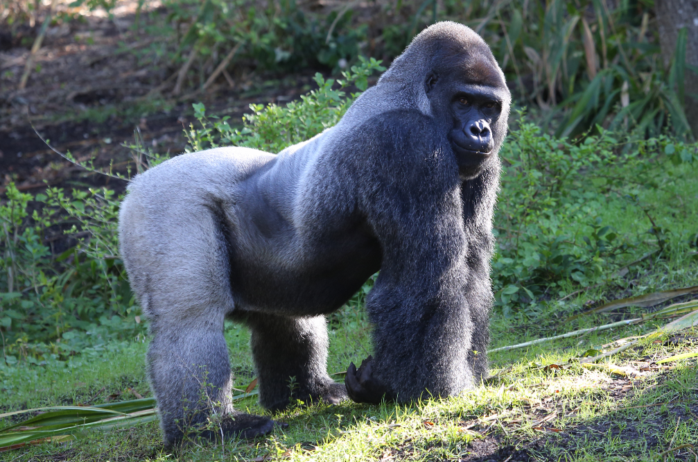 This gorilla is so handsome, hordes of women are flocking to see him in the zoo