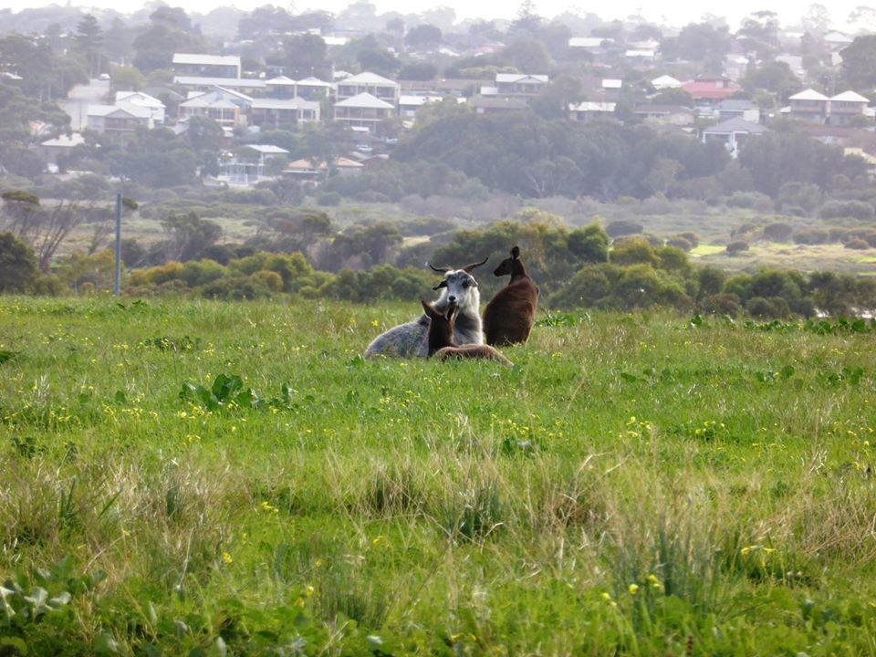 This goat likes to hang out with his best mate – a kangaroo