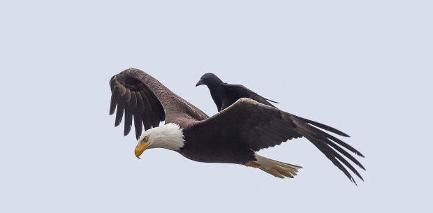 Crow rides the back of an eagle in these bizarre photos