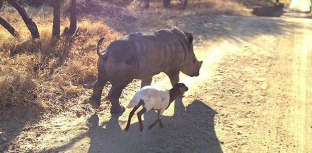 A young orphaned rhino finds a home
