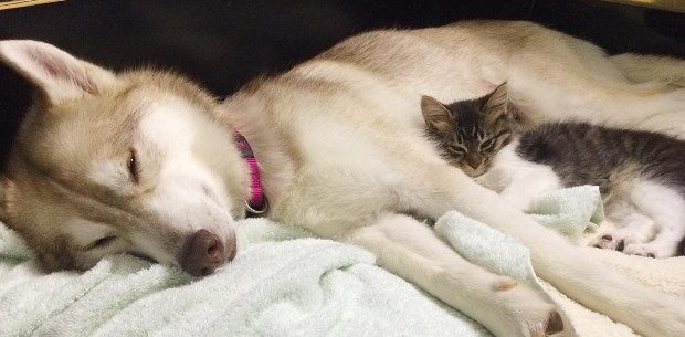 One of the pack: kitten saved by husky leads the life of a dog