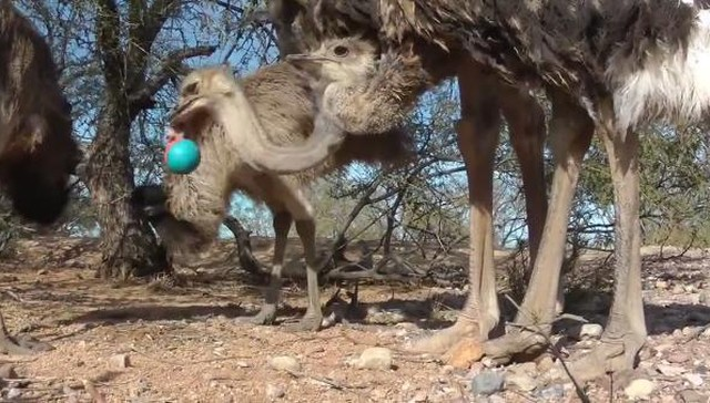 This mob of emus had the most incredible reaction to a cat toy