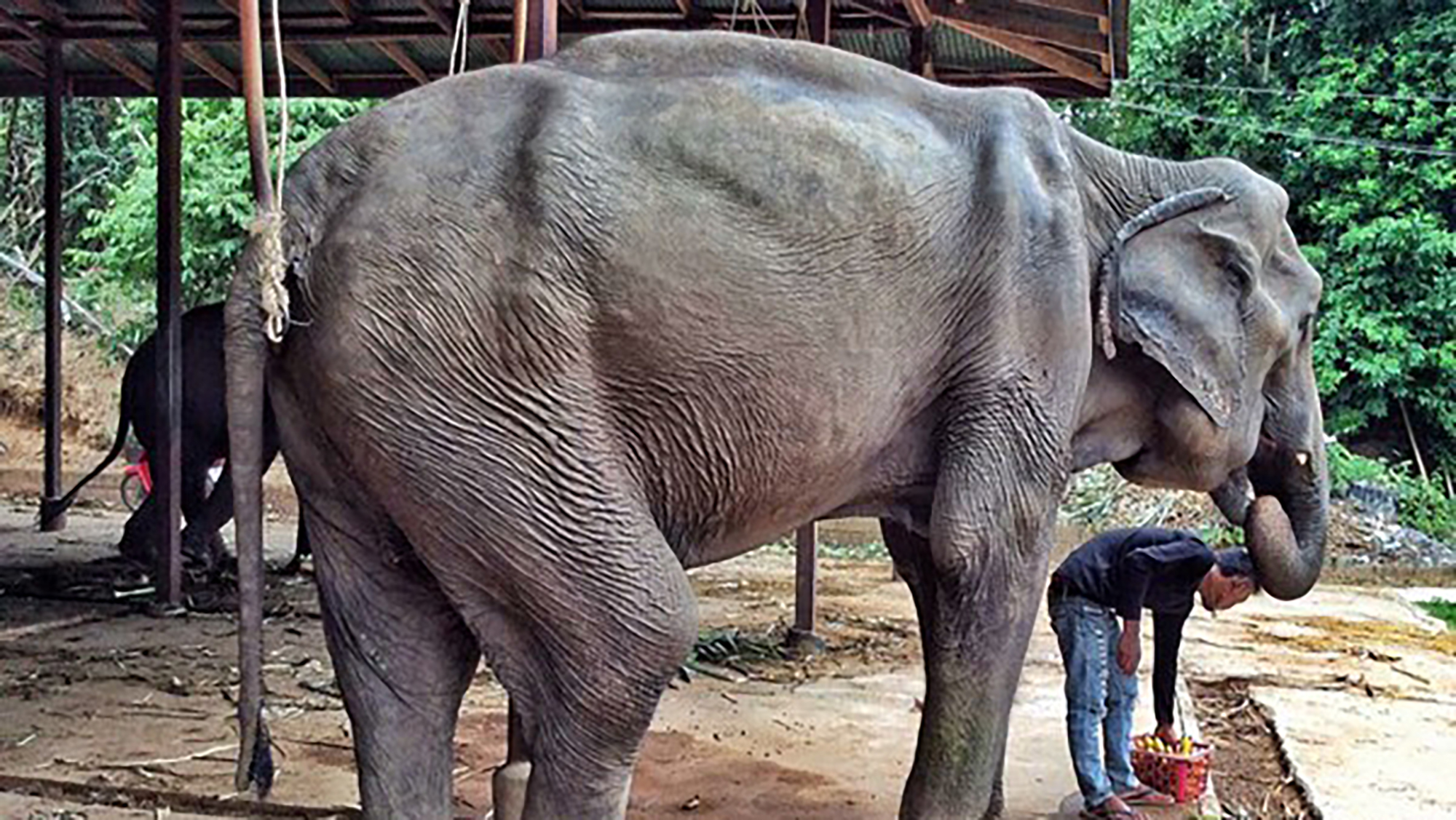 Terribly thin elephant rescued and enjoying freedom