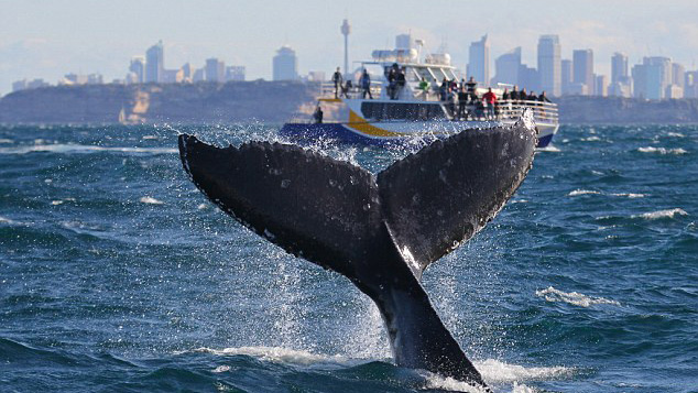Humpback jumps out of water and entertains onlookers in Sydney