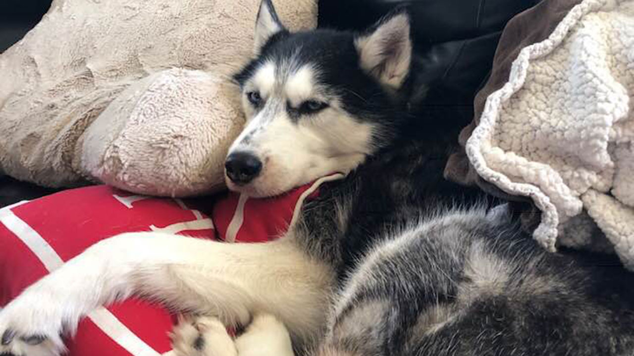 """I owe my life to that dog"": Husky sniffs out owner's ovarian cancer three times"