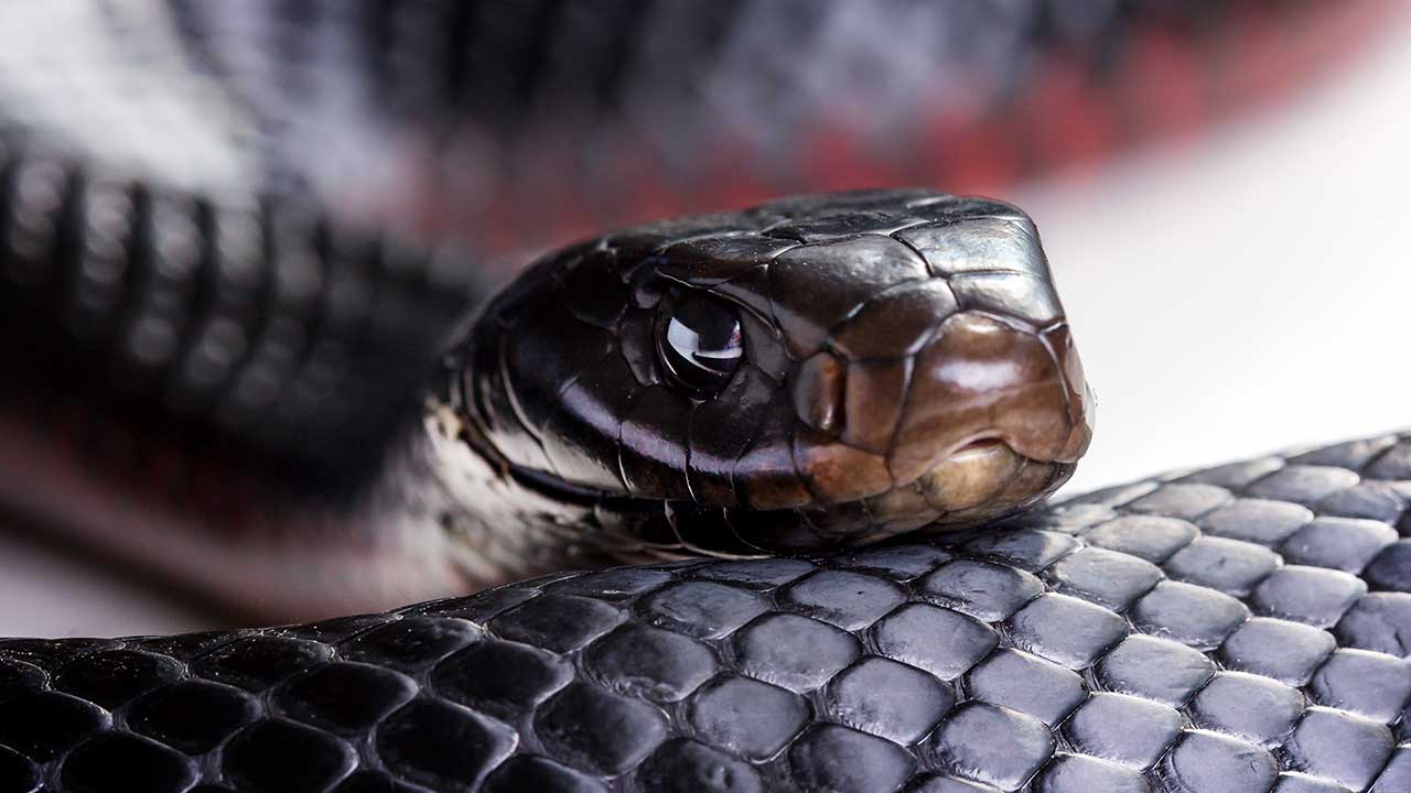 Terrified woman discovers red-bellied black snake in her bedroom